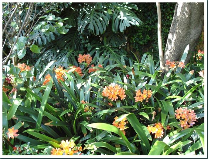 DSC05313W1-clivia-miniata-(clivia, lis de st joseph) F amaryllidaceae BW