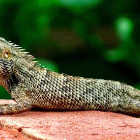 by Rana Ghosh - Animals Reptiles ( attitude... )