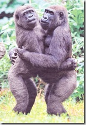 Gorila - opicí cardás.