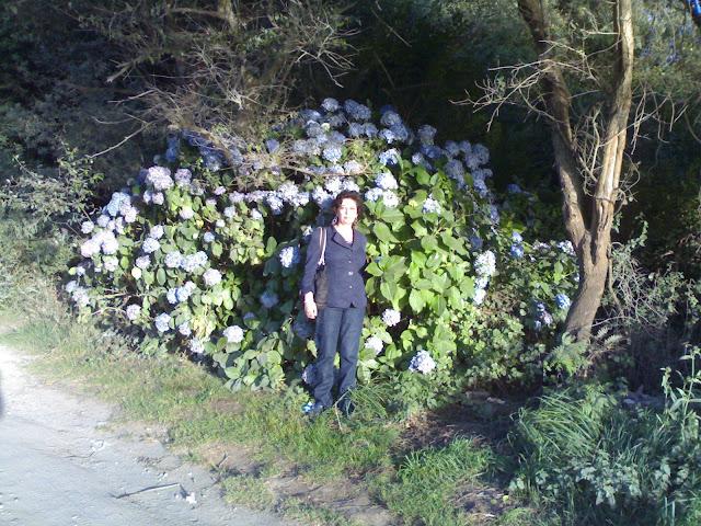 Hortensias - Página 8 Hortensia%20Valdovi%C3%B1o2