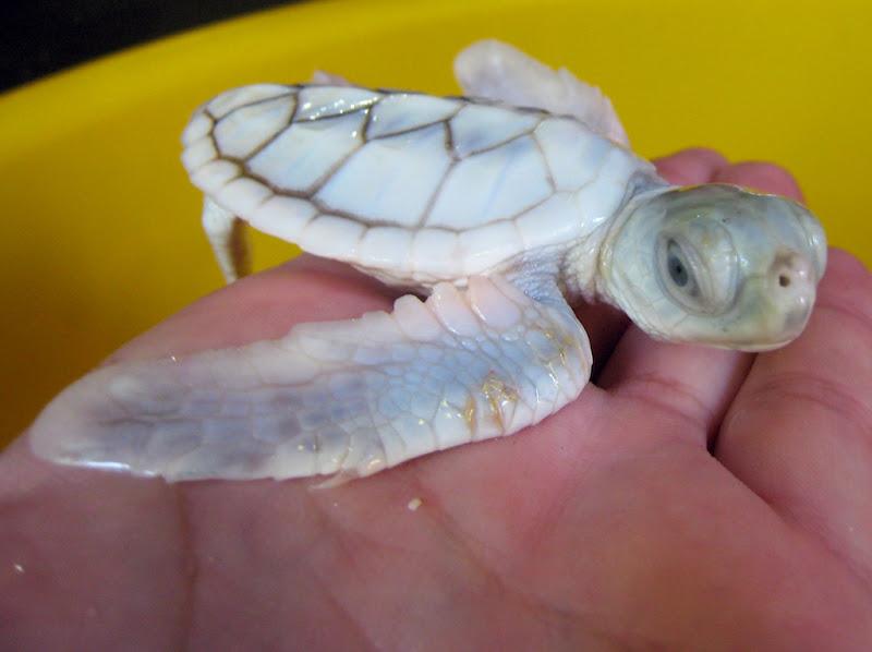 Schildpadden op Derawan