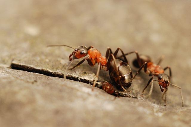 sipelgad