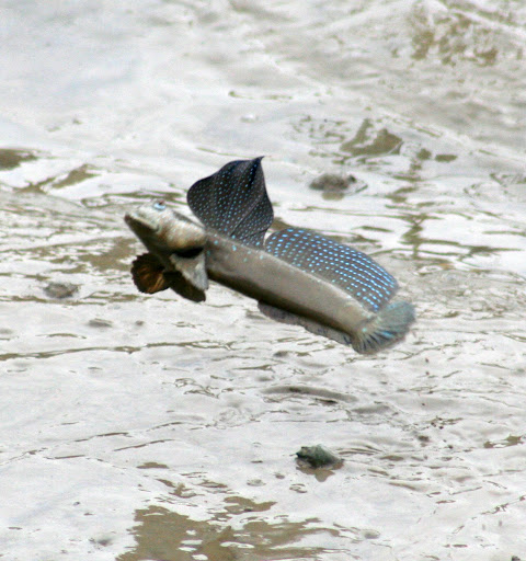 A mudskipper leaps off the ground.