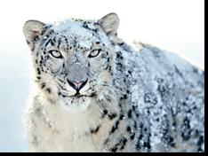 Snowy Snow Leopard
