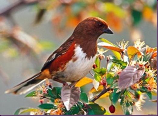 Pájaro-zumbador-rufo-300x225