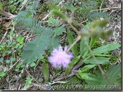 Touch Me Not, Mimosa pudicam