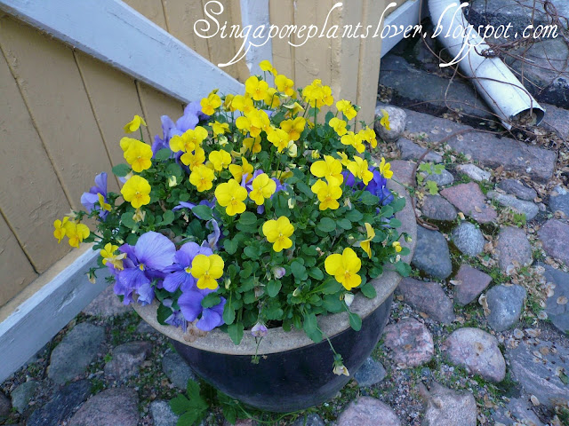 Blue Flowers, Blue & Yellow