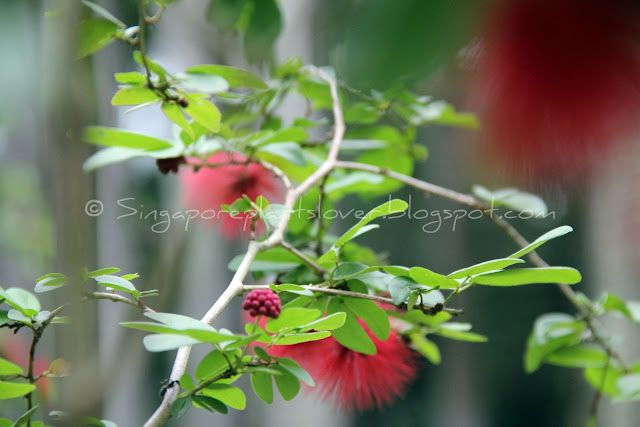 red powderpuff flowers