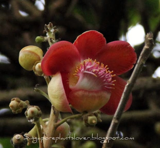 couroupita guianensis flowers