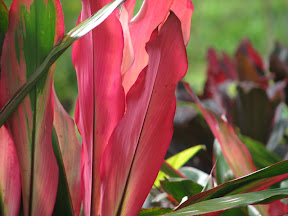 Cordylines