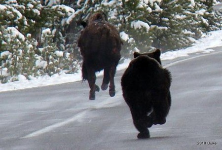 Bear Chasing Bison Down the Road 08