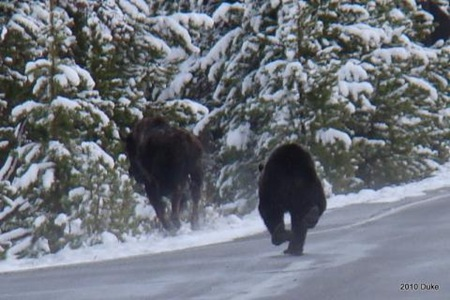 Bear Chasing Bison Down the Road 09