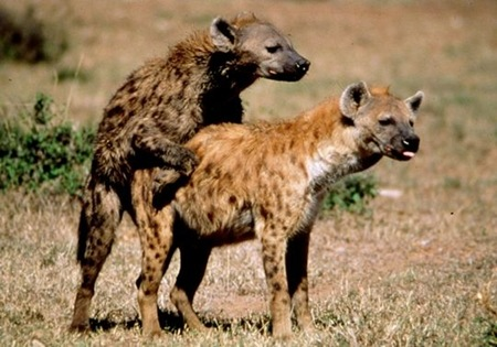 The Spotted Hyenas