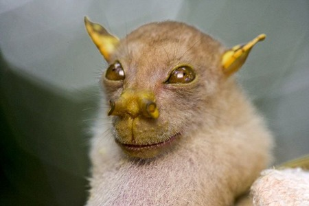 Tube-Nosed Bat