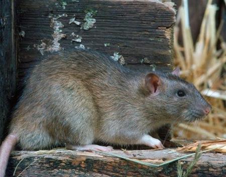 Rats 01