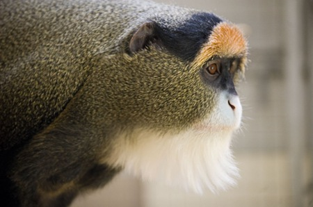 9. De Brazza's Monkey – $7,000 to $10,000