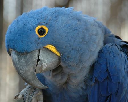 8. Hyacinth Macaw – $14,000