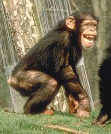 chimpcute3
