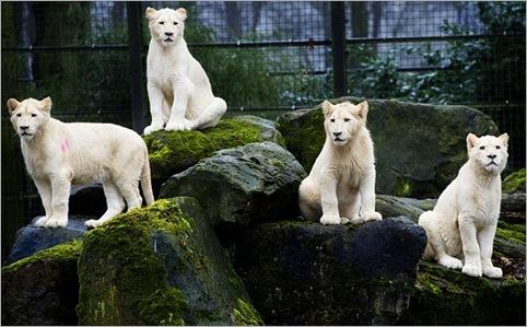 white lion 03
