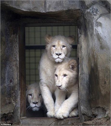white lion 04