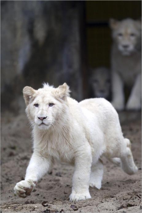 white lion 07