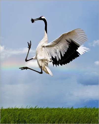 rare-birds-photo-contest-red-crowned-crane