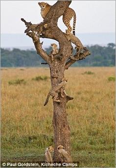 cheetah cubs 05