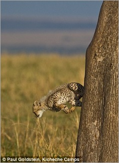 cheetah cubs 06