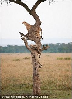 cheetah cubs 07