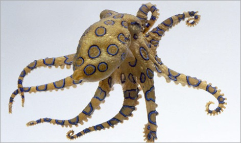 05-Blue-Ringed-Octopus