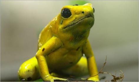 06-Poison-Dart-Frog