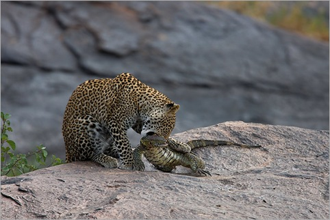 Young-male-Leopard-killing-Monitor-Lizard-Masai-Mara-Kenya-21