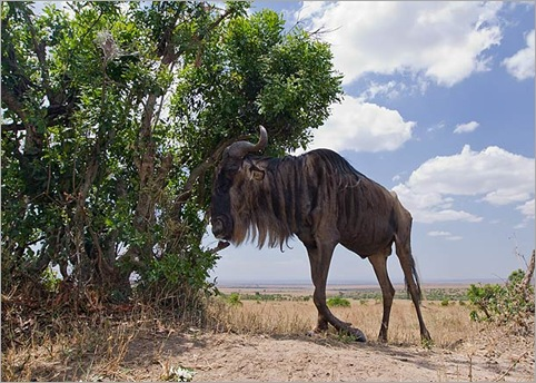 Wildebeest-with-broken-leg-standing-in-shade-of-Crotton-bush-Masai-Mara-Kenya 01
