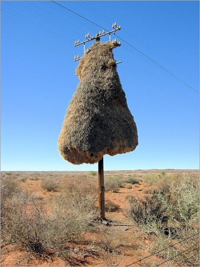 Birds Nests in the Most Bizarre Places 011