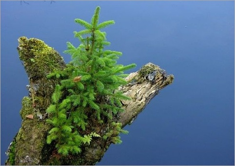 Gran-Picea