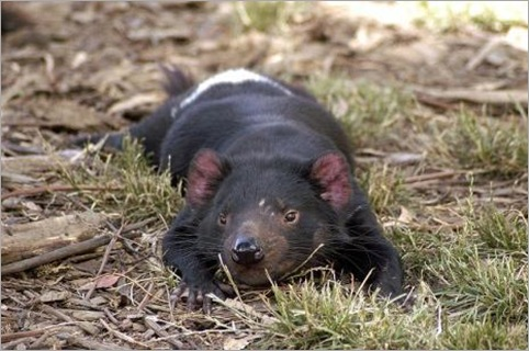 800px-Tasmanian_Devil_resting.preview