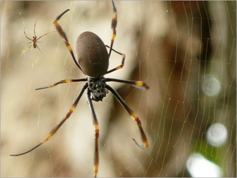 Golden orb weavers 02