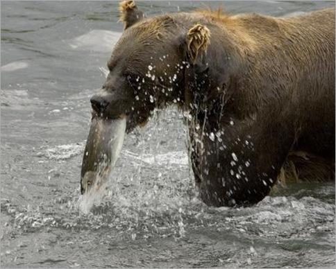 Bear4.preview