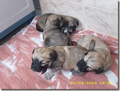 cachorros 002