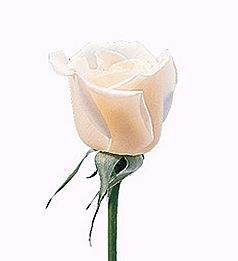 rose17a