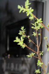 Blomstrenede syrenkvist 029