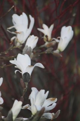 Magnolia 041