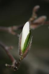 Magnolia 015