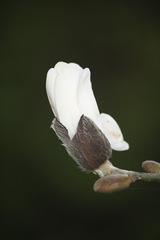 Magnolia 022