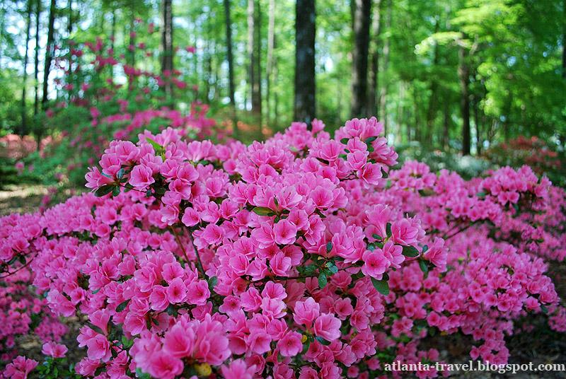 Azalea Цветы азалии