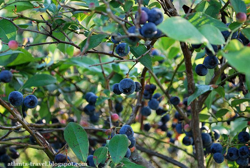 Как растет голубика. Blueberry Farm.
