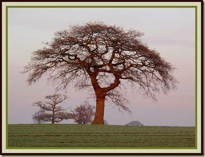 A Cheshire Tree