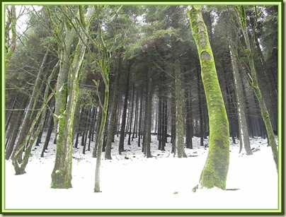 Trees on Nessit Hill, in Macclesfield Forest