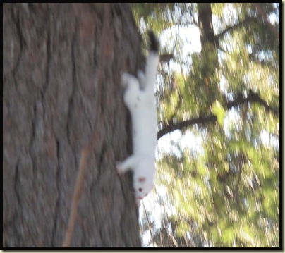 An ermine hurrying down a tree trunk