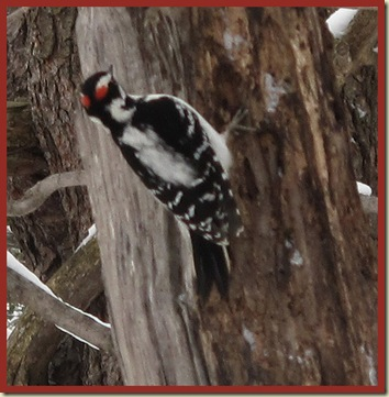 Hairy Woodpecker outside Huron Cabin